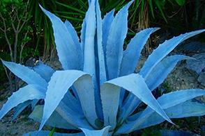 голубая агава фото